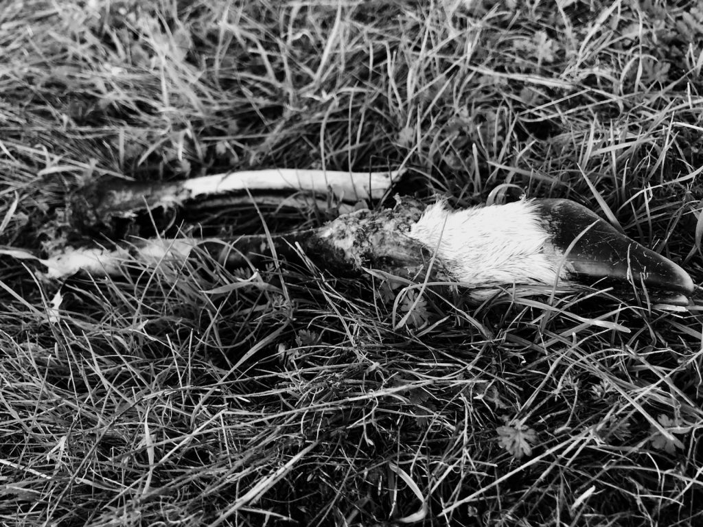 Black and white image of a deer leg with meat eaten off of it