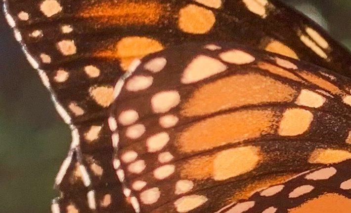 Monarch butterfly wing close up.