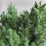 A close-up picutre of a small tree branch. It's color is dark green and the texture is spiky.